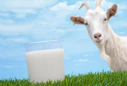 Козье молоко при грудном кормлении – можно или нет?