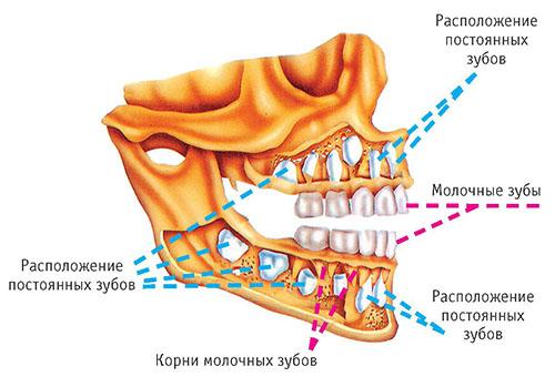 Лезут коренные зубы у ребенка: симптомы и возможная помощь малышу