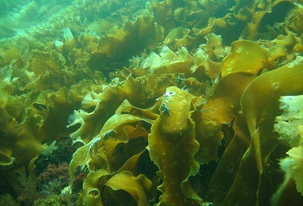 Морская капуста при грудном вскармливании – можно ли кормящей маме?