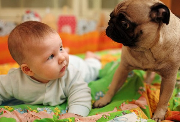ребенок и пес Мопс