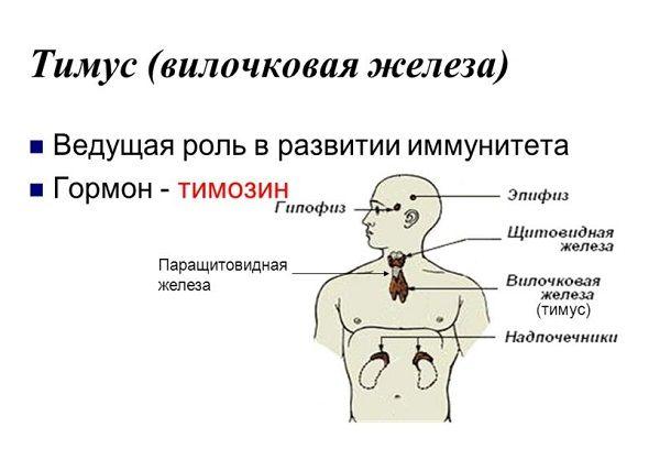 расположение тимуса