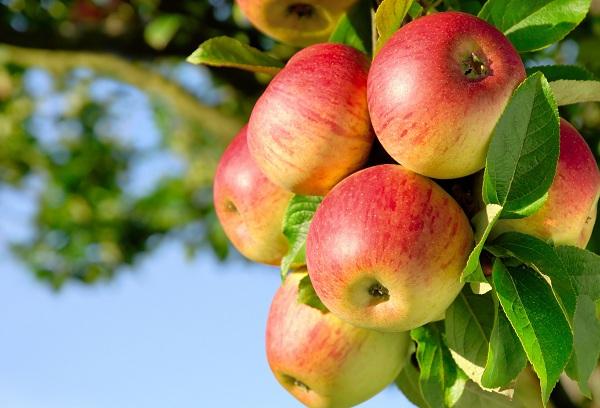 спелые яблоки на дереве